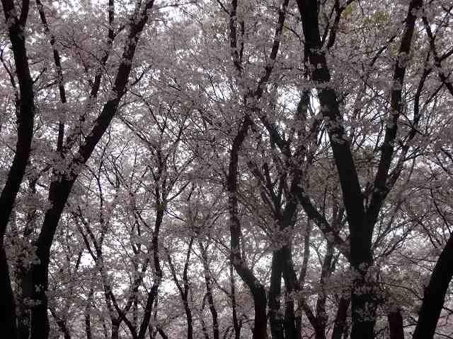 s-桜吹雪 (10)
