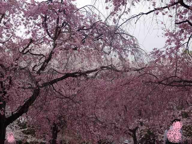 s-桜吹雪 (13)
