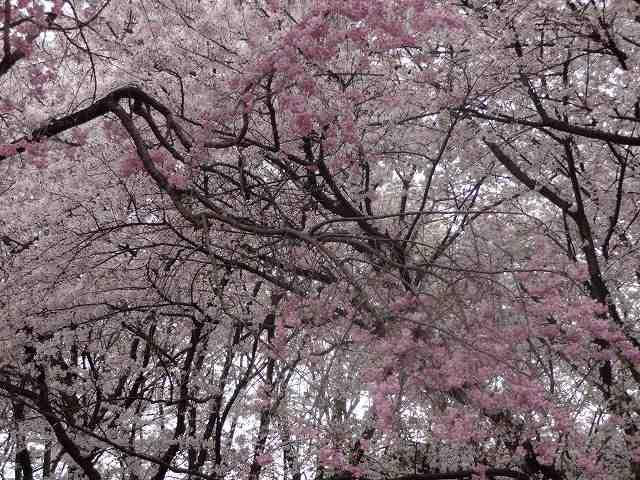 s-桜吹雪 (14)