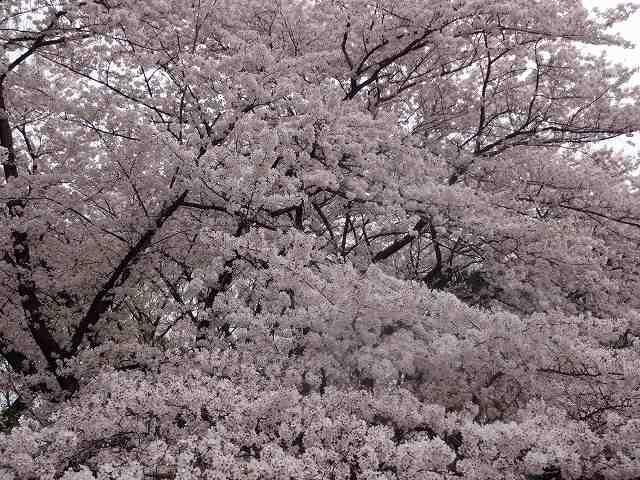 s-桜吹雪 (15)