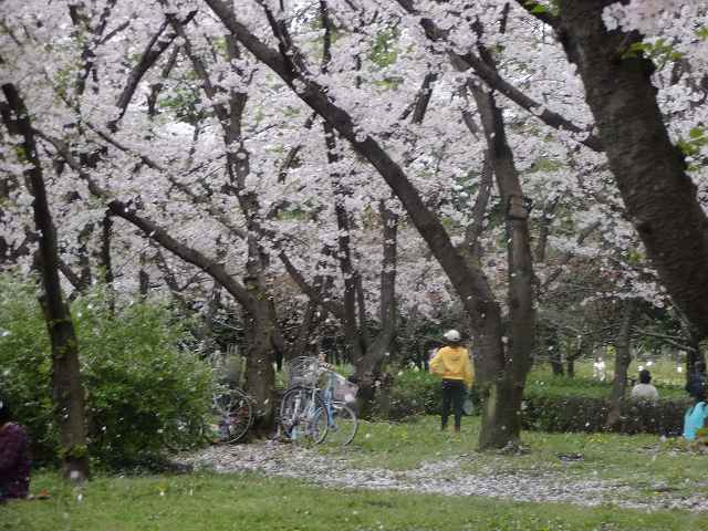 s-桜吹雪 (16)