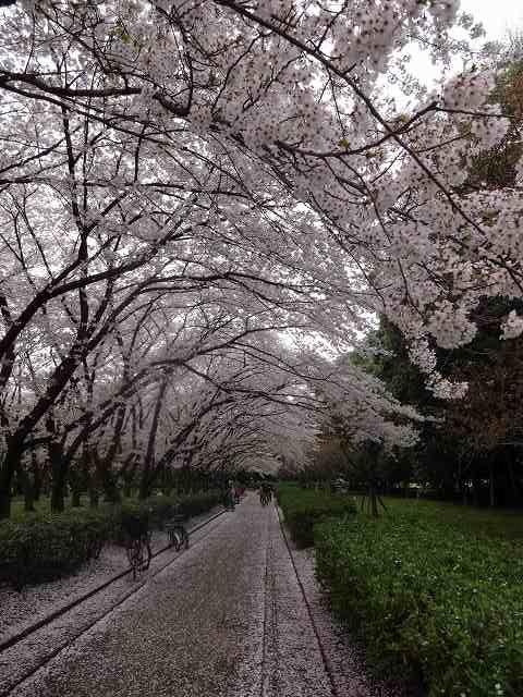 s-桜吹雪 (17)
