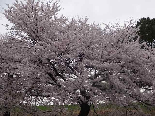 s-桜吹雪 (22)