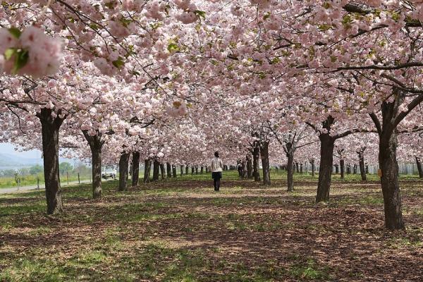 小布施 八重桜並木