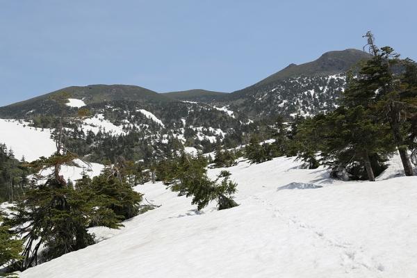 八甲田 残雪の樹林帯を行く。