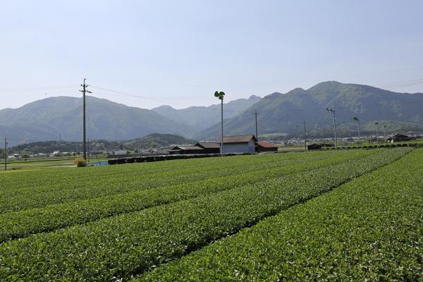 四日市はお茶の栽培が盛ん。