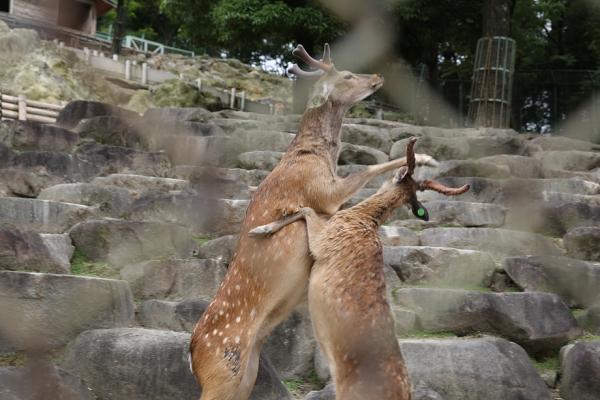 岡崎市 東公園 鹿の対決