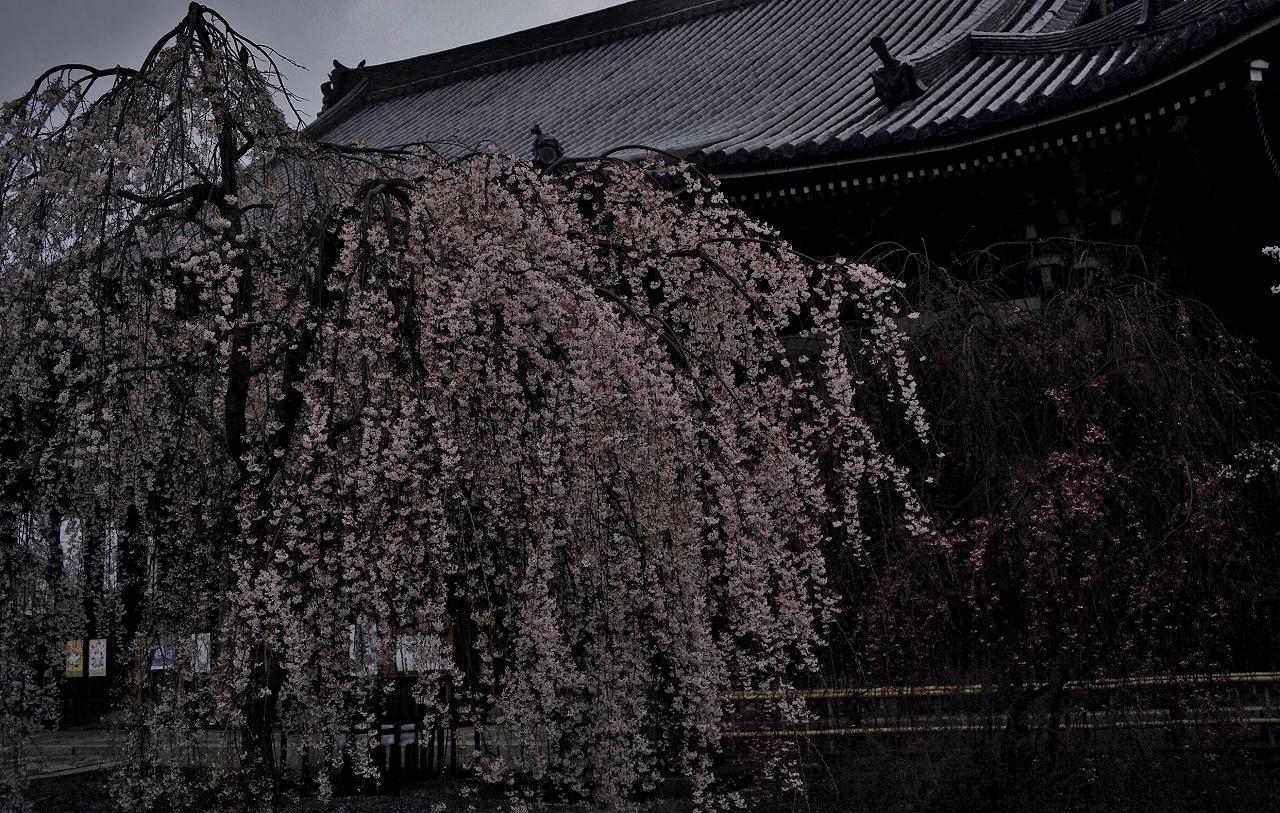 立本寺雨中の桜A01