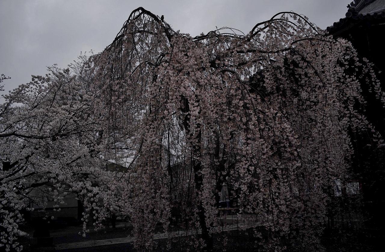 立本寺雨中の桜A03