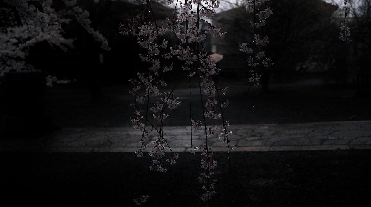立本寺雨中の桜A09