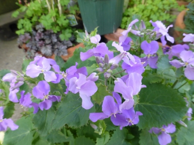 紫ハナナ 2015 3・17