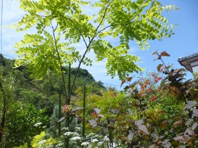 アカシヤモドキとブラシの木 2015 5・20