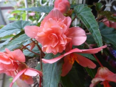八重咲きベコニア ファンタジーシリーズ コーラル