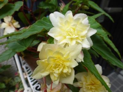 八重咲きベコニア ファンタジーシリーズ クリーミー 2015 5・28