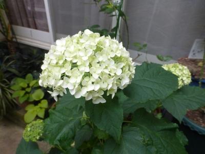 アナベル ホワイト 2015 5・28