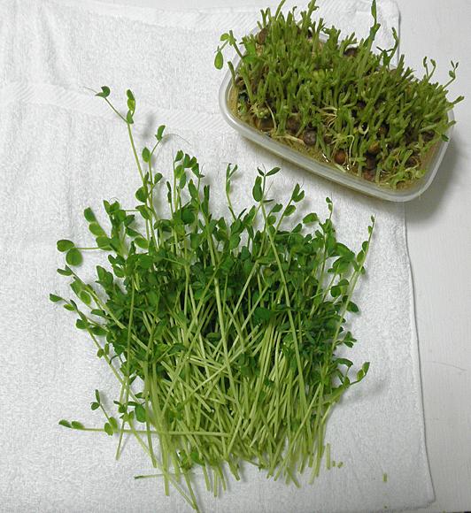 20150119豆苗収穫