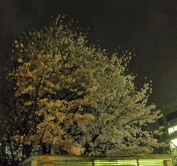 20150403夜桜