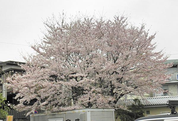 20150405桜①