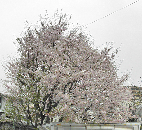 20150405桜②