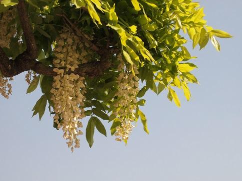 藤の花15-3