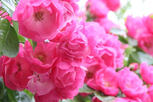 rose20153.jpg