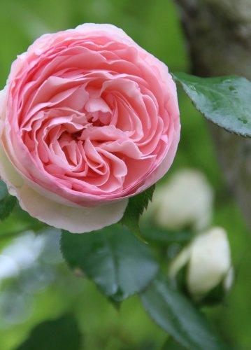 rose20155.jpg