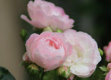 rose20158.jpg