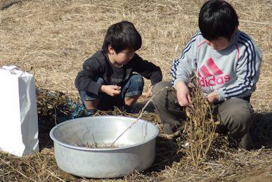 大豆の収穫12月-1