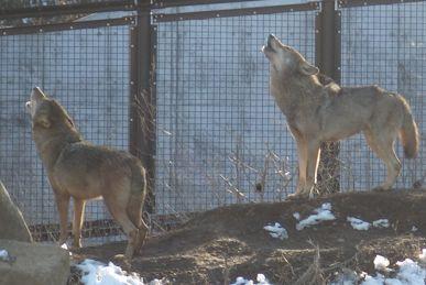 オオカミの遠吠え