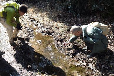ヤマアカガエル卵塊を探す