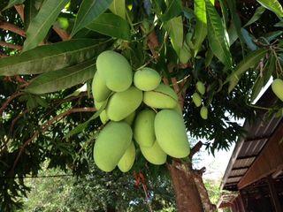 mango15b