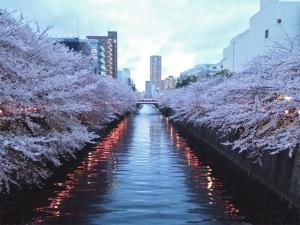 2015sakura.jpg