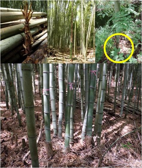 GWW竹・竹の生長