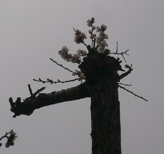 小さな桜1
