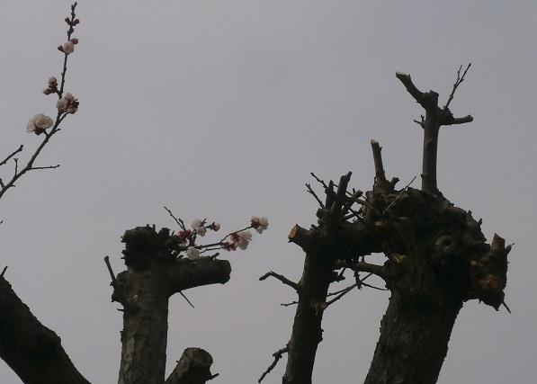 小さな桜2