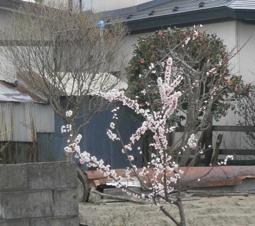 変わった桜