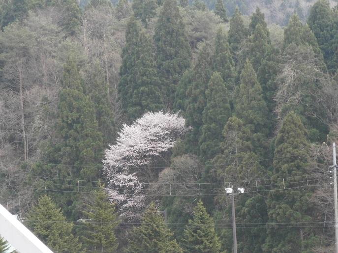 ポツンと桜