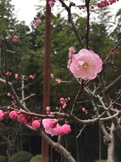 梅林公園 梅まつり 2015 3