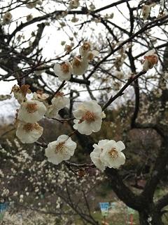 梅林公園 梅まつり 2015 2
