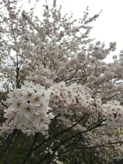 大山 桜まつり 2015 1