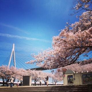 天保山公園桜12015