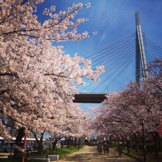 天保山公園桜22015
