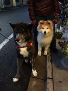 2015 01 15 秋田犬 2