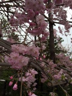 2015 04 03 壬生寺 桜-2