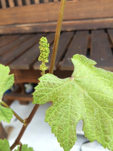 2015 04 27 葡萄の樹