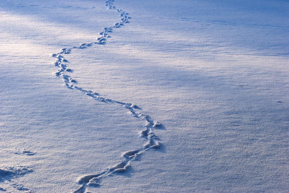 animal-tracks-in-snow_shutterstock_67674577.jpg