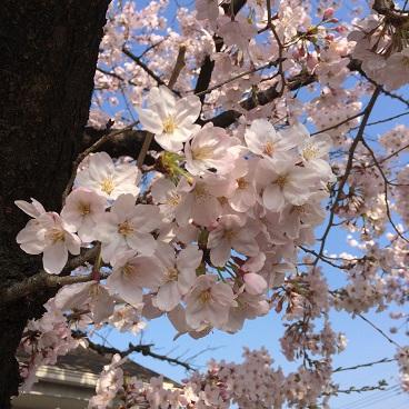 2015 桜2