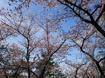rps20150408_15300920150409sakura.jpg