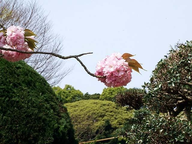 八重桜(やえざくら)(72639 byte)