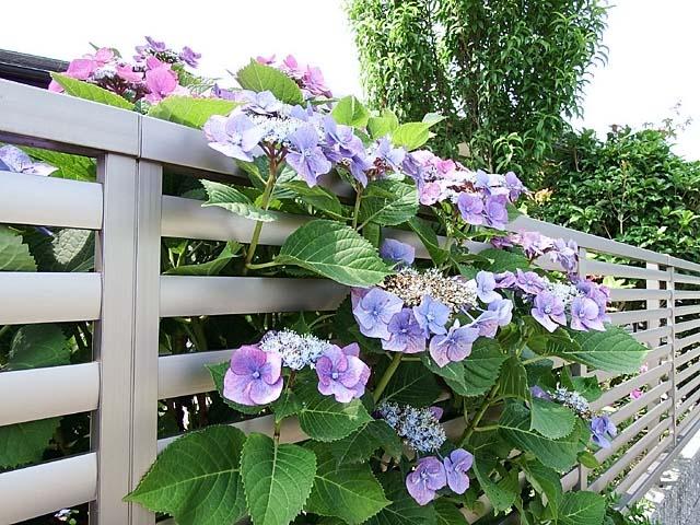 萼(がく)紫陽花(98206 byte)